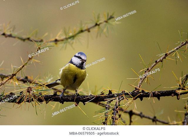 Stelvio National Park, lombardy, Italy, Blue Tit