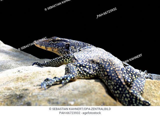 A monitor lizard at the Bako National Park near Kuching, Malaysia, on 25.10.2014. Photo: Sebastian Kahnert - NOWIRESERVICE- | usage worldwide
