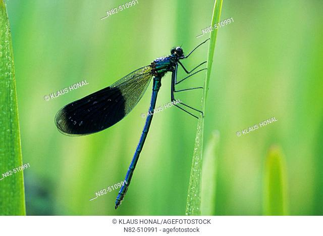 Banded Demoiselle male (Calopteryx splendens) in dew