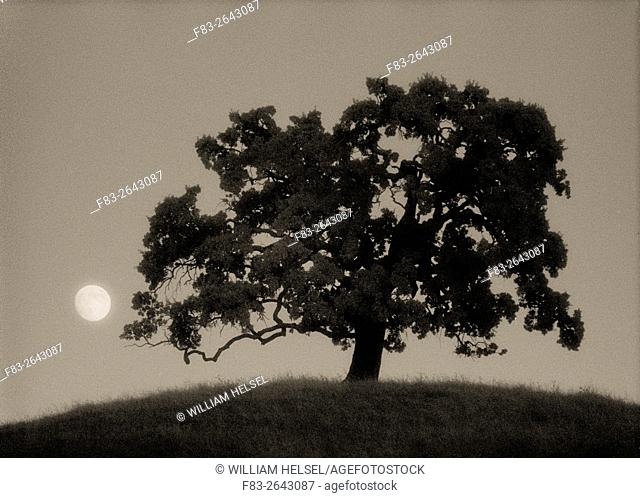 Oak tree on hill with rising full moon, Diablo Foothills Regional Park, Contra Costa County, CA, USA, shot on Kodak infrared film