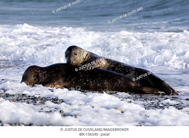 Two gray seals playing in the waves at the beach (Halichoerus grypus)