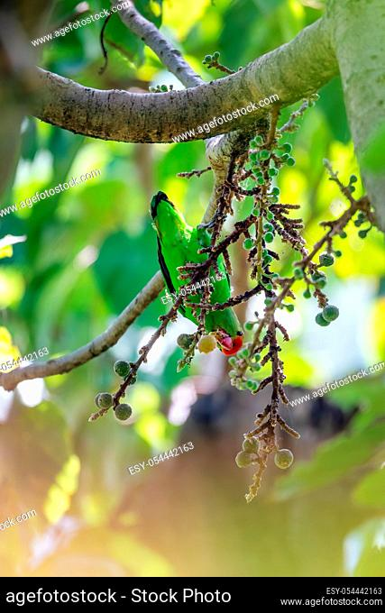 black-winged lovebird (Agapornis taranta) feeding on tree, known as Abyssinian lovebird, mainly green bird of the parrot family