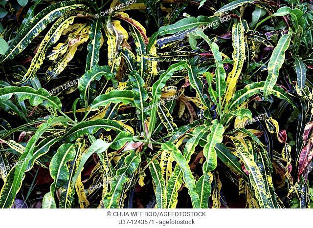 Leaves taken at MBKS Garden in Kuching, Sarawak, Malaysia