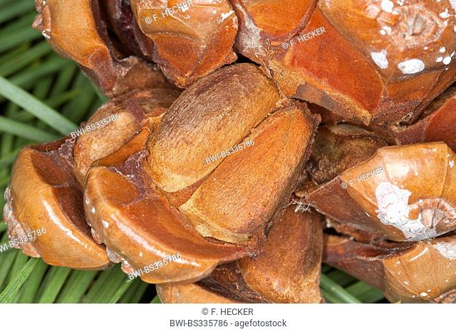 Stone pine, Italian Stone pine, Umbrella Pine (Pinus pinea), pine nuts in a cone