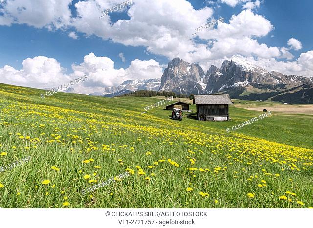 Alpe di Siusi/Seiser Alm, Dolomites, South Tyrol, Italy. Spring on the Alpe di Siusi with the peaks of Sassolungo/Langkofel and Sassopiatto / Plattkofel