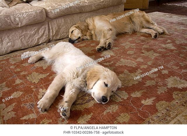 Domestic Dog, Golden Retriever, adult and puppy, sleeping, laying on rug in lounge, England