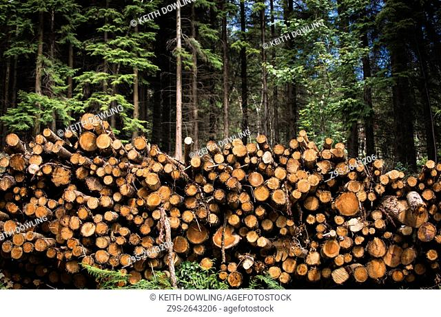 Cut Logs awaiting transport from Forest clearing. Rossmore Killeshin County Carlow Ireland