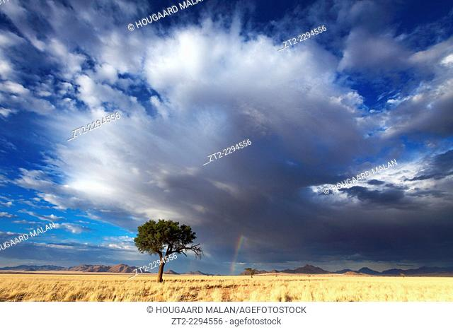 Landscape photo of a lone camelthorn tree against a dramatic stormy sky. Namib Rand, Namibia