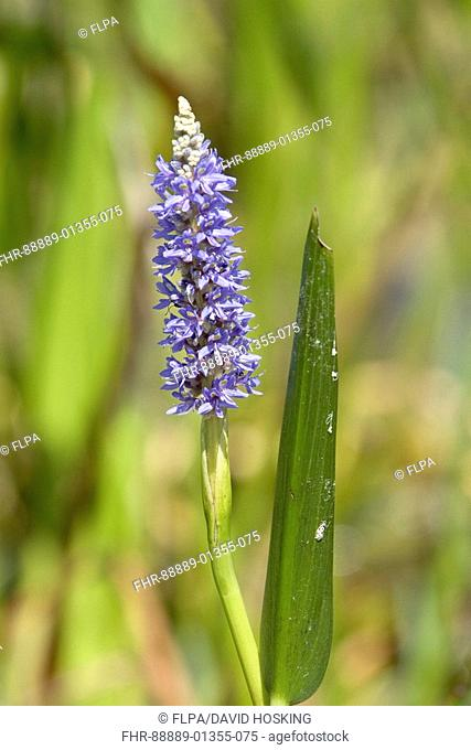 Pickerel weed, Pickerelweed, Pontederia cordata Florida