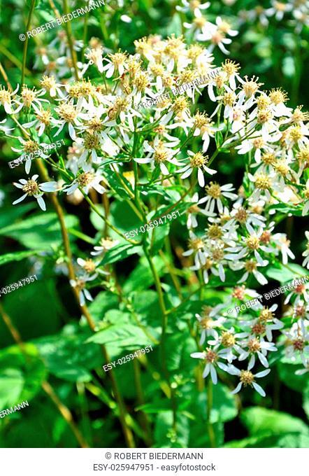white forest aster (eurybia divaricata)