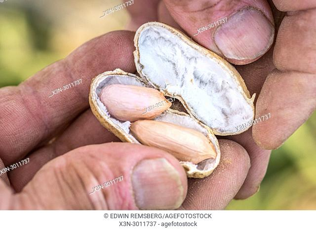 Male hand cracks open peanut shell to expose fresh nuts inside, Tifton, Georgia. USA