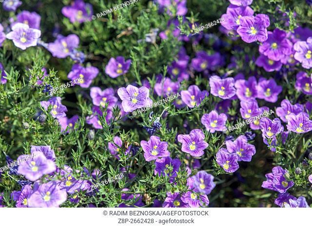 "Nierembergia hippomanica """"Purple Robe"""" or Cupflower blooming"