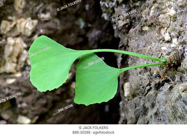 Two leaves of Maidenhair Tree (Ginkgo biloba)