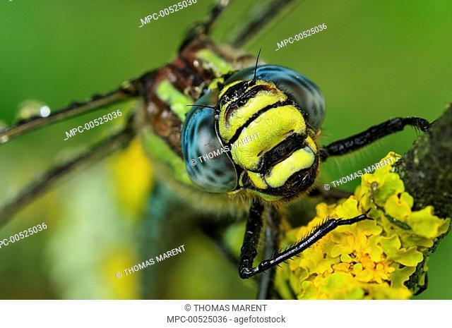 Hairy Dragonfly (Brachytron pratense), Switzerland