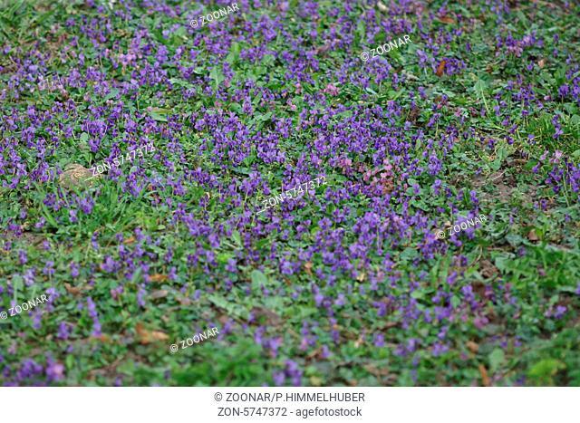 Viola odorata, Duftveilchen, Sweet violet, verwildert im Rasen