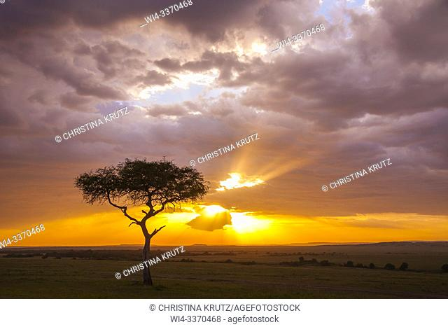 Silhouette of acacia tree at sunset, Masai Mara National Reserve, Kenya