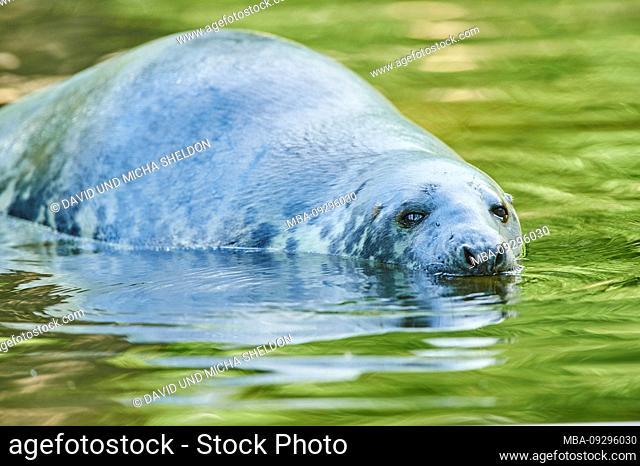 Seal, Phoca vitulina, water, sideways, swimming