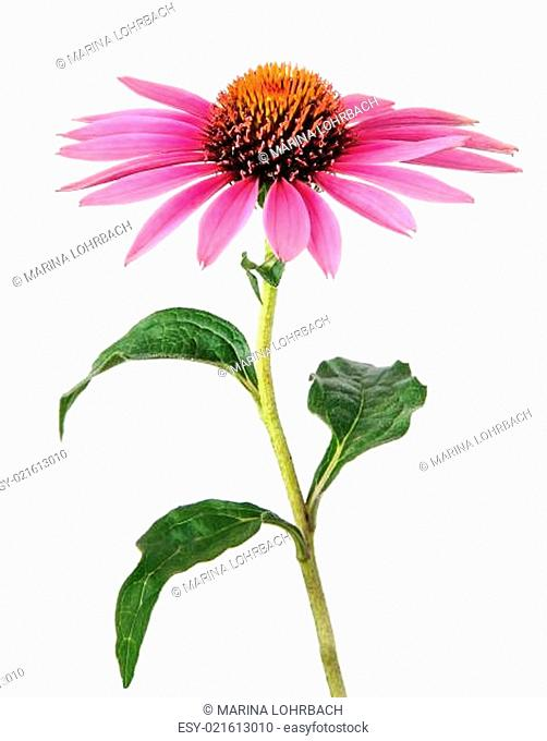 Homeopathy with echinacea