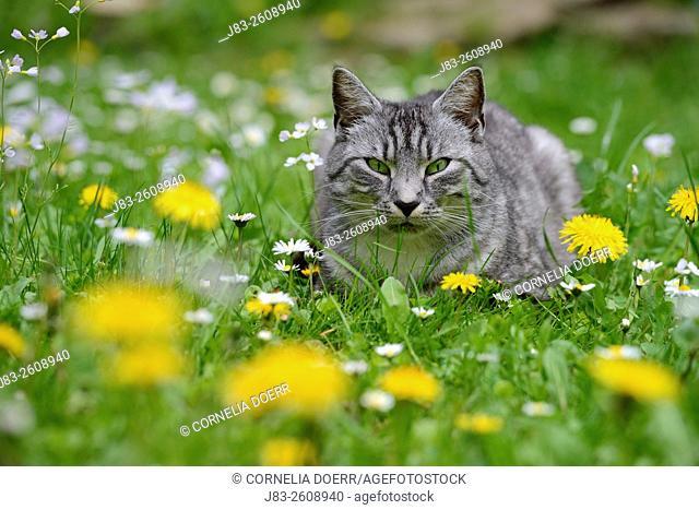 Light-gray tabby cat sitting in wildflower meadow in spring
