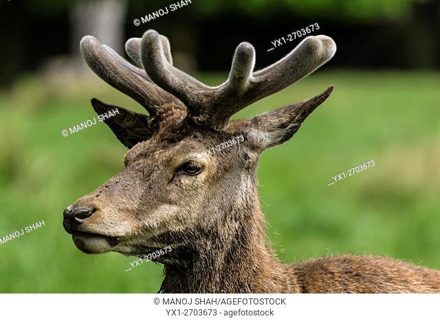 Red Deer adolescent male at Bushey Park, London, UK