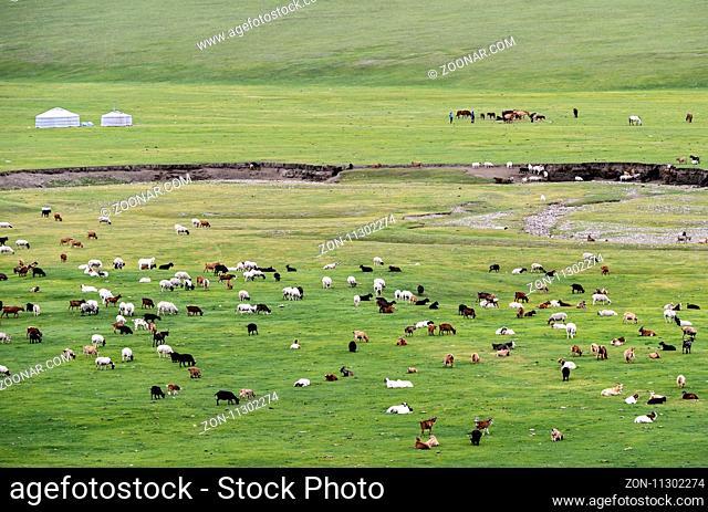 Gemischte Herde aus Schafen und Kaschmir Ziegen, Orchon-Tal, Khangai Nuruu Nationalpark, Oevoerkhangai Aimag, Mongolei / Mixed herd of sheep and Kashmir goats...