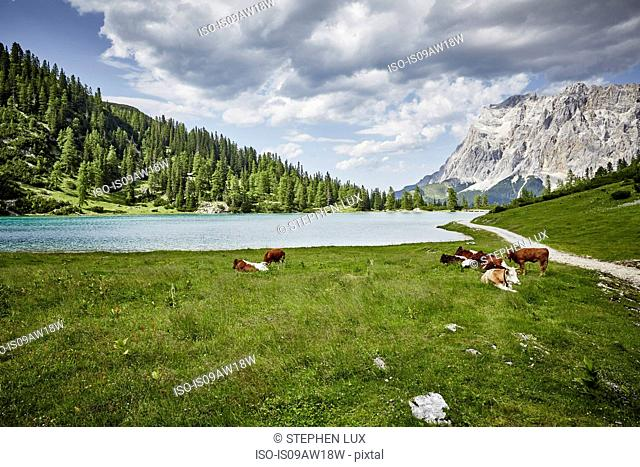 Cows grazing in lakeside valley, Ehrwald, Tyrol, Austria
