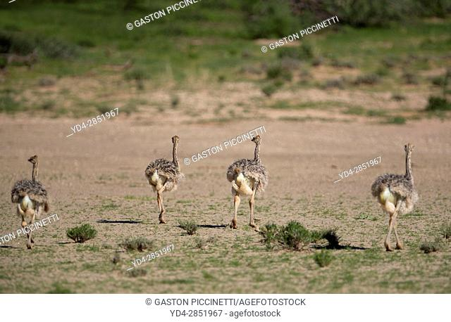 Common ostrich (Struthio camelus) - Youngs, Kgalagadi Transfrontier Park, Kalahari desert, South Africa