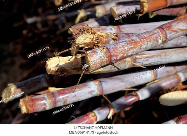 Island Madeira, chopped sugarcane, Saccharum officinarum