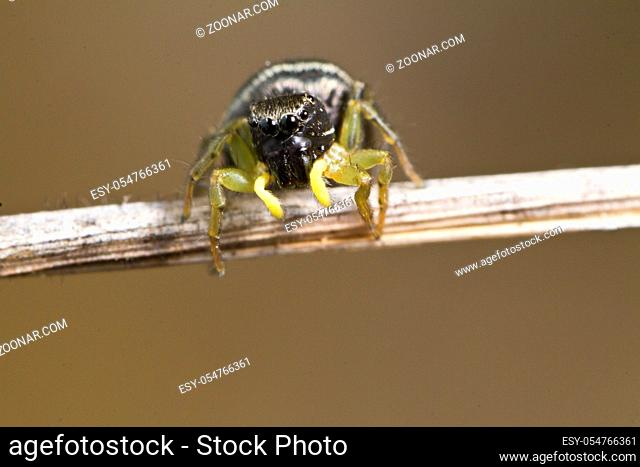 Close up view of the beautiful heliophanus auratus jumping spider