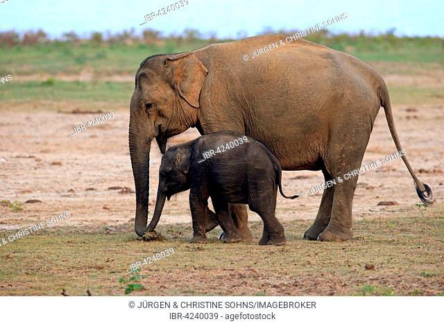Sri Lankan elephant (Elephas maximus maximus), mother with calf, eating, Yala National Park, Sri Lanka
