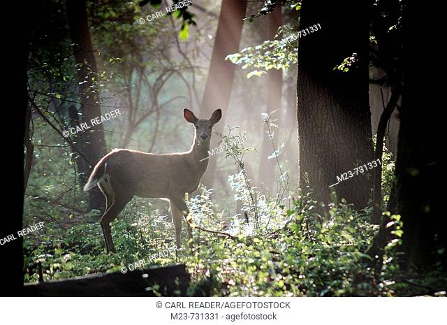 A white-tailed doe deer is caught in a shaft of early morning mist and light, Pennsylvania, USA