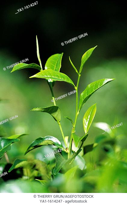Tea plant Camellia sinensis, surrounding of Kandy, Sri Lanka