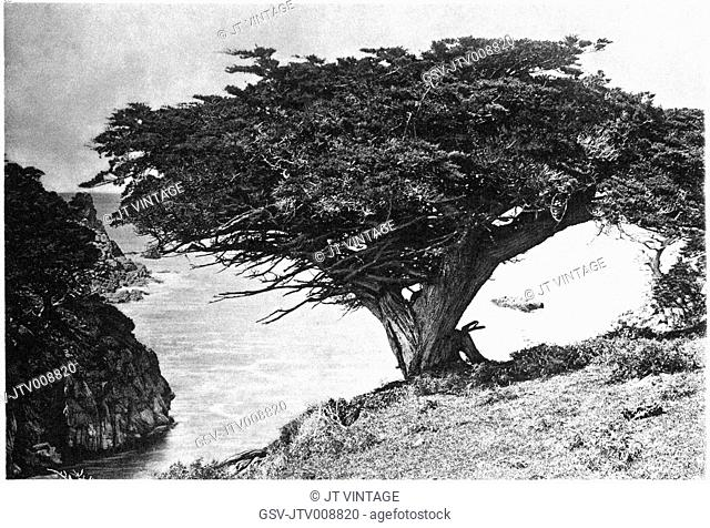 cypress, Point Lobos, nature, historical