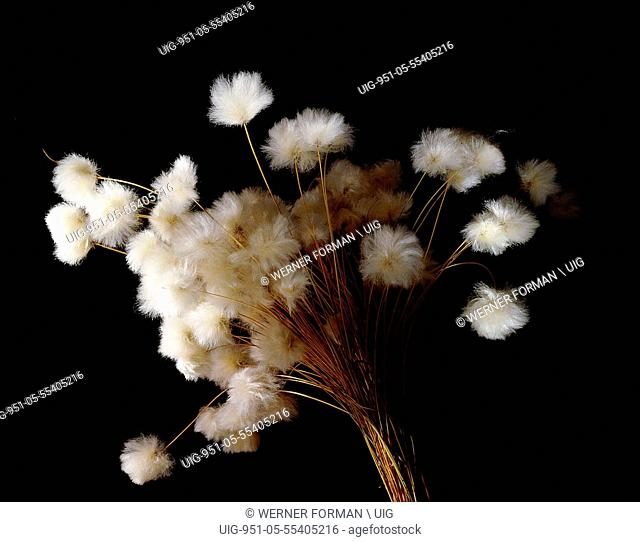 Arctic cotton, a plant common in tundra regions over much of the far north