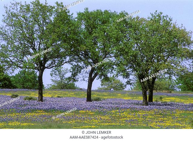 Field of Texas Bluebonnets (Lupinus texensis) Hill Country/TX