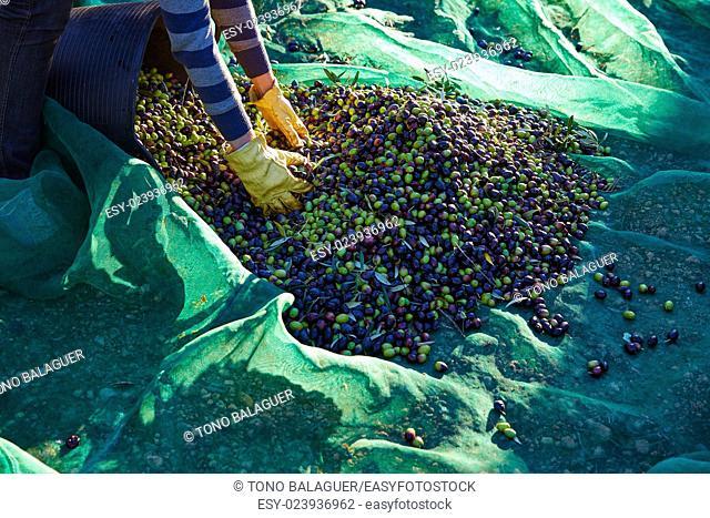 Olives harvest picking hands with gloves at Mediterranean