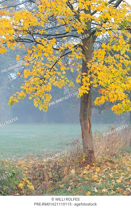 Maple tree in autumn, Vechta, Vechta district, Oldenburger Münsterland, Lower Saxony, Germany / Ahorn im Herbst, Vechta, Landkreis Vechta