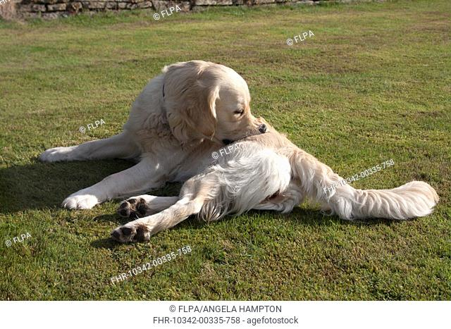 Domestic Dog, Golden Retriever, adult female, biting itch, laying on garden lawn, England, august