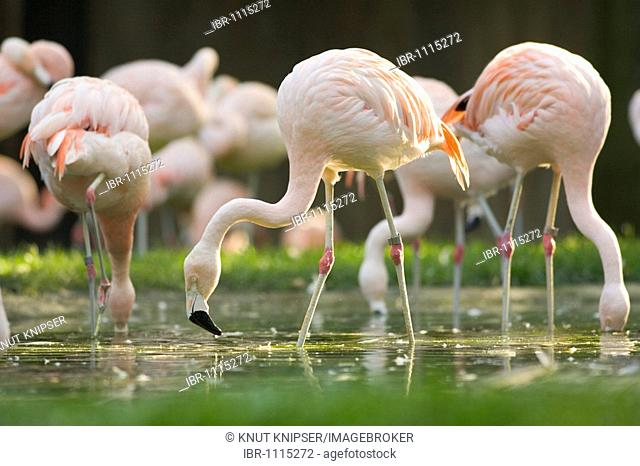 Chilean Flamingo (Phoenicopterus chilensis) foraging for food in the flat water of a pond in the Allwetterzoo in Muenster, North Rhine-Westphalia, Germany