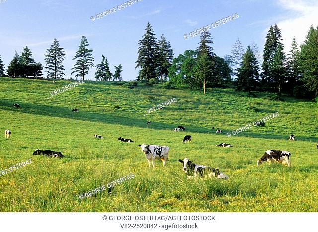 Farm pasture and cows, Covered Bridge Country Tour, Linn County, Oregon