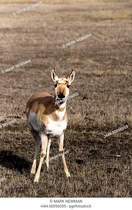 Pronghorn-Antelope in Yellowstone National Park