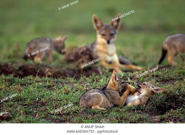 Black-backed jackal pups aged 4 weeks playing (Canis mesomelas). Maasai Mara National Reserve, Kenya. Aug 2011