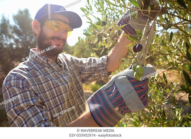 Farmer cutting a olives with scissors