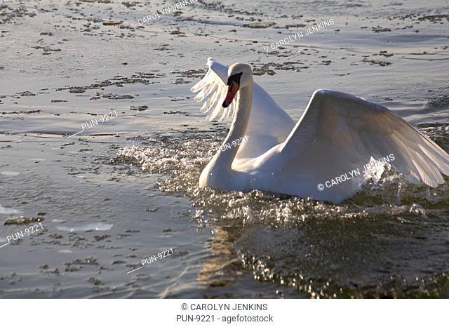 Mute swan Cygnus olor flapping wings on frozen lake in Poole Park, Dorset, in January