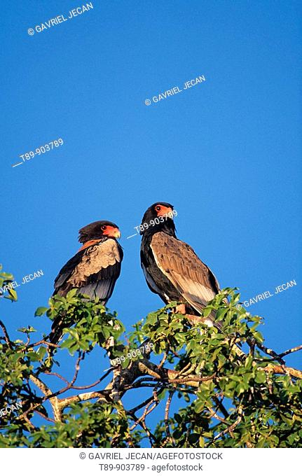 Two Bateleur eagles Terathopius ecaudatus on a dead tree The Bateleur is a conspicuous short-tailed eagle with extensive bright-red facial skin