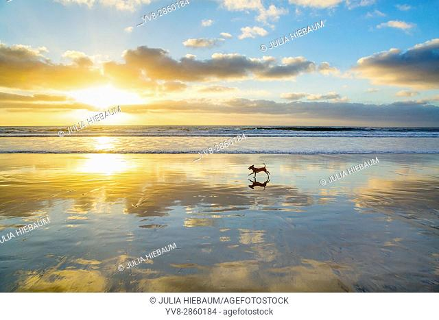 A small dog running a La Jolla Shores beach in la Jolla, California