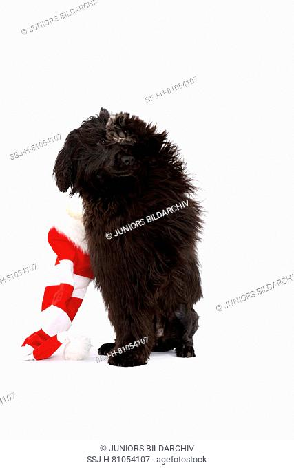 Portuguese Water Dog. Adult bitch with Santa Claus hat, sitting. Studio picture, seen against a white background. Germany