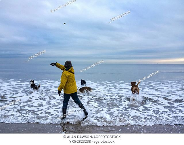 Seaton Carew, north east England. United Kingdom. Mature woman walking dogs on beach in winter throwing ball into the cold North sea with dogs giving chase