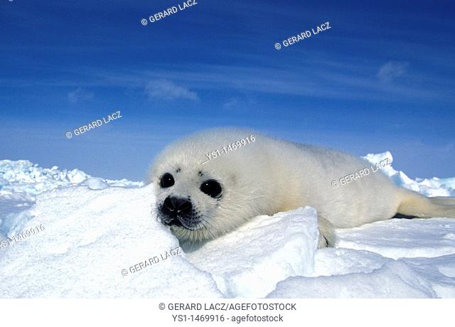 Harp Seal, pagophilus groenlandicus, Pup standing on Icefield, Magdalena Island in Canada