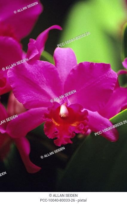 Close-up of pink cattleya orchids against green leaves